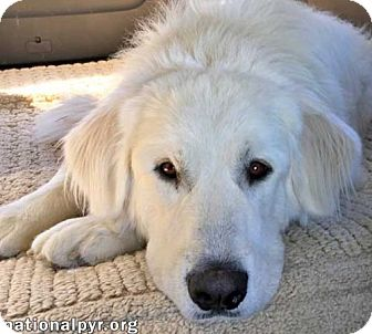 Great Pyrenees Dog for adoption in Beacon, New York - Missy - new!
