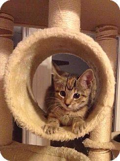 Domestic Shorthair Kitten for adoption in Fairmont, West Virginia - Reagan
