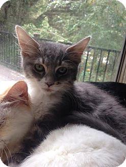 Domestic Mediumhair Kitten for adoption in El Cajon, California - Gandolph
