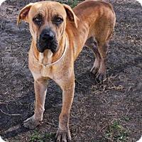 Mastiff Mix Dog for adoption in Houston, Texas - CASPIAN