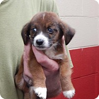 Beagle Mix Puppy for adoption in Pikeville, Kentucky - Billy
