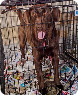 Labrador Retriever Puppy for adoption in Richfield, Wisconsin - Twix, Mr. T for short