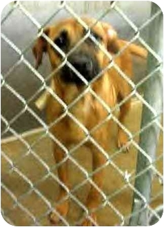 German Shepherd Dog/Boxer Mix Dog for adoption in Anderson, Indiana - Milo