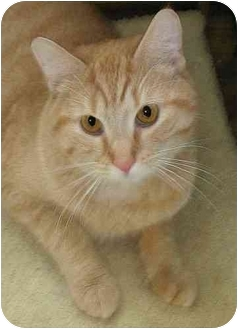 Domestic Shorthair Cat for adoption in Plainville, Massachusetts - Garfield