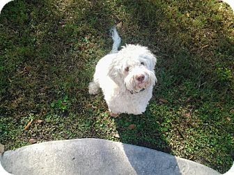 Bichon Frise/Poodle (Standard) Mix Dog for adoption in Humble, Texas - Snicker