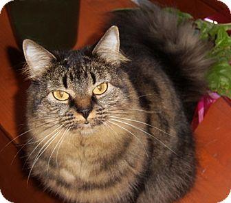 Domestic Longhair Cat for adoption in N. Billerica, Massachusetts - Mocha