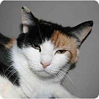 Calico Cat for adoption in Napa, California - Autumn