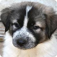 Adopt A Pet :: Sherlock Holmes - Austin, TX