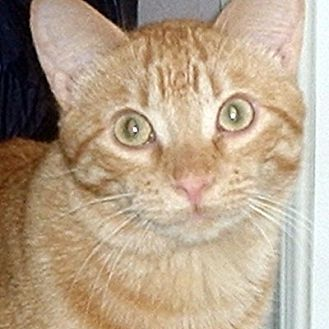 Domestic Shorthair Cat for adoption in Mississauga, Ontario, Ontario - St James