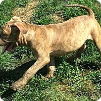 Adopt A Pet :: de Bordeaux Mix Pup - Oscar - Midlothian, VA