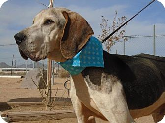 Treeing Walker Coonhound Dog for adoption in Apple Valley, California - Father Thyme