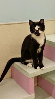 Domestic Shorthair Cat for adoption in Westbury, New York - Hawkeye
