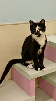Domestic Shorthair Kitten for adoption in Westbury, New York - Hawkeye