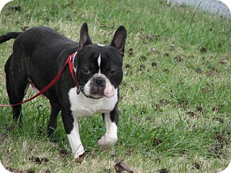 boston terrier for sale nj boston adopted dog westwood nj boston terrier 185