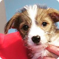 Adopt A Pet :: Beatrix - Broken Arrow, OK
