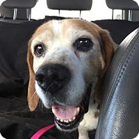 Beagle Dog for adoption in Silver Spring, Maryland - Marabelle