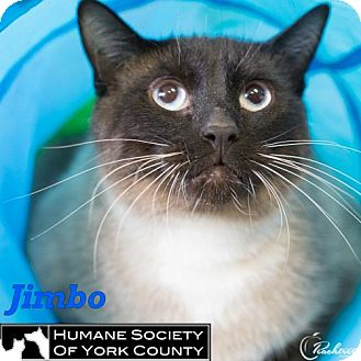 Siamese Cat for adoption in Fort Mill, South Carolina - Jimbo
