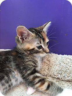 American Shorthair Kitten for adoption in San Jose, California - Cami