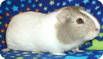 Guinea Pig for adoption in Steger, Illinois - Annie