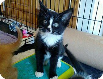 Domestic Shorthair Kitten for adoption in Rootstown, Ohio - Kitten - Charlie (female)