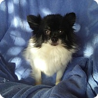 Pomeranian Dog for adoption in Temecula, California - Kelsey