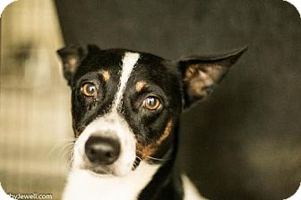 Rat Terrier Mix Dog for adoption in chouteau, Oklahoma - Henry