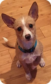 Terrier (Unknown Type, Small)/Chihuahua Mix Puppy for adoption in Auburn, Washington - Sam