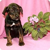 Adopt A Pet :: Cadbury - Washington, DC