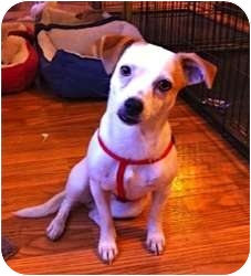 Chihuahua/Terrier (Unknown Type, Small) Mix Dog for adoption in Mesa, Arizona - Pippi