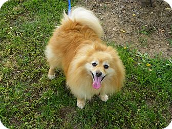 Pomeranian Dog for adoption in Hesperus, Colorado - Bennie