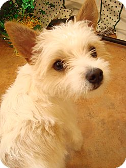 Miko | Adopted Dog | Youngwood, PA | Yorkie, Yorkshire ...