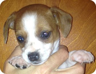 Beagle/Chihuahua Mix Puppy for adoption in Thousand Oaks, California - Chico