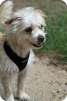 Chinese Crested/Terrier (Unknown Type, Small) Mix Dog for adoption in Muskegon, Michigan - Cicero