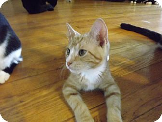 Domestic Shorthair Kitten for adoption in Trevose, Pennsylvania - Calvin