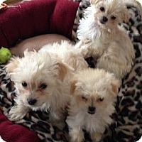 Adopt A Pet :: MALTIPOO PUPPIES - Mission Viejo, CA