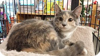 Domestic Shorthair Cat for adoption in Knoxville, Tennessee - Amelia