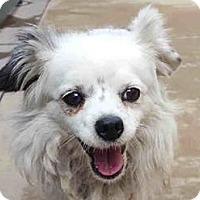 Adopt A Pet :: Pricilla - San Marcos, CA