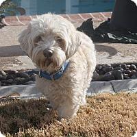 Adopt A Pet :: Dray - Henderson, NV