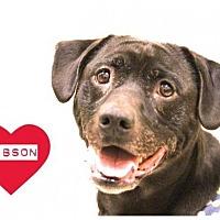 Adopt A Pet :: Gibson - Grand Rapids, MI