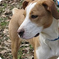 Adopt A Pet :: Pitty Pat - Hartford, CT