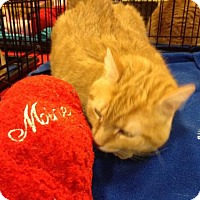 Domestic Shorthair Cat for adoption in Ephrata, Pennsylvania - Jenga