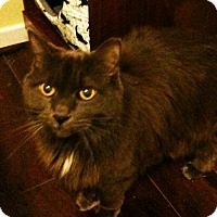Adopt A Pet :: Olivia *Declawed*(Bonded to Matilda) - Richmond Hill, ON