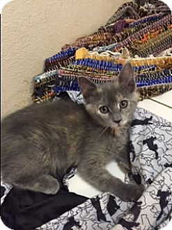 Domestic Shorthair Kitten for adoption in Elk Grove, California - Jypsi