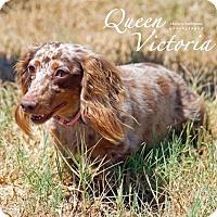 Adopt A Pet :: Queen Victoria + - San Antonio, TX