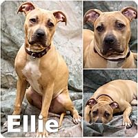 Adopt A Pet :: Ella - St Clair Shores, MI