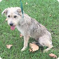 Schnauzer (Standard)/Terrier (Unknown Type, Medium) Mix Dog for adoption in Manchester, New Hampshire - Gray