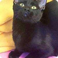 Domestic Shorthair Cat for adoption in Colorado Springs, Colorado - Wobbler