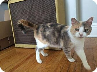 Domestic Shorthair Cat for adoption in Woodstock, Ontario - Lillian