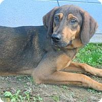 Hound (Unknown Type) Dog for adoption in Randleman, North Carolina - Pumpkin