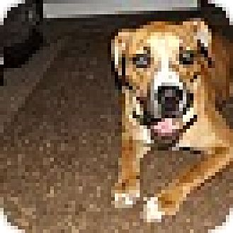 Boxer/Labrador Retriever Mix Dog for adoption in Goodlettsville, Tennessee - Sadie